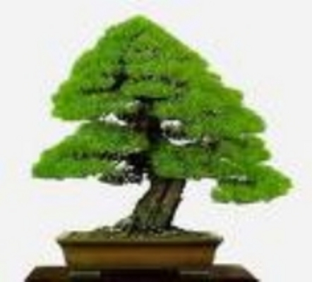 Product picture Growing bonsai